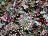 Coral Bells - Heuchera