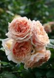Paul Bocuse Rose Bouquet