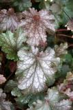 Huechera or Coral Bell Foliage