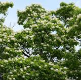 Catalpa Tree in Bloom