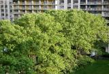 Sycamore Trees & NYU's Washington Square Village Residences