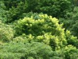 Scholar & Locust Tree Tops