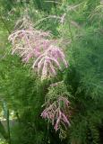 Tamarisk Tree Blossoms