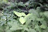 Ground Cover - Ferns & Hosta