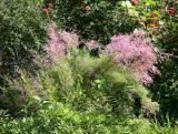 Tamarisk Blossoms