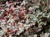 Heuchera Coral Bells