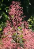 Smoke Tree Blossoms