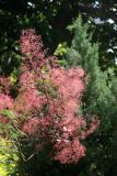 Smoke & Juniper Trees
