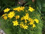 Coreopsis Asters