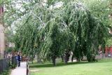 Beech Trees - NYU Silver Towers Gardens
