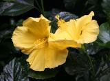 Yellow Hibisbus - Coffee Time Flower Pot