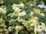 Linden Tree Blossoms