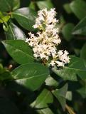 Lisgustrum vulgare