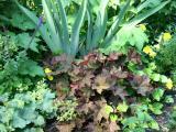 Heuchera in a Garden Plot