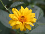 Coreopsis Aster