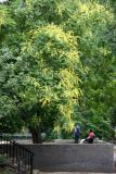 Golden Rain Tree by the Bocce Ball Court