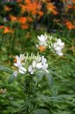 Cleome & Day Lilies