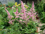 Astilbe or Pink Feathers