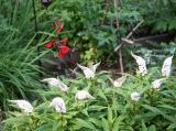 White Goosenecks & Red Salvia