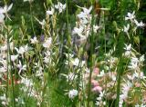 Gaura or Whirling Butterflies