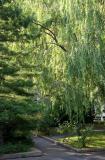 Willow & Pine Trees