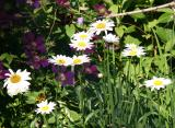 Daisies & Clematis