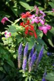 Blue Veronica , Red Salvia  & Nicotiana