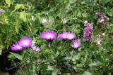Stokesia & Delphinium