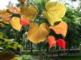 Under Cercis Foliage