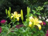Lilies, Bee Balm and Butterfly Bush Blossoms