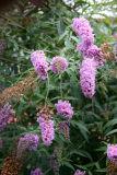 Buddleja or Butterfly Bush