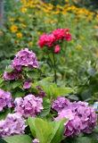Hydrangea, Roses & Daisies