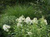 White Phlox & Summer Grass