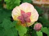 Abutilon - Flowering Maple or Malva