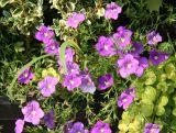 Nierembergia hippomanica var. caerulea - Cup Flower