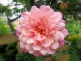 Gruss en Aachen Rose