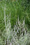 Russian Sage & Summer Grass