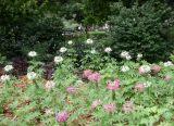 Cleome Flower Bed