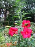 Giant Red Hibiscus