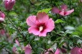 Hibiscus Bush Blossoms