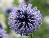 Echinops or Globe Thistle