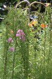 Caragana arborescens - Walker Weeping Siberian Pea Shrub