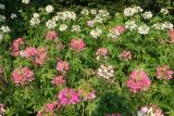 Cleome Patch