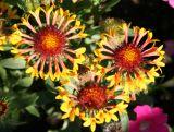 Gaillardia Aster - Blanket Flower