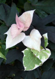 Ipomoea batatas or Sweet Potato Vine - NYU Sidewalk Garden