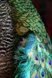 Aedes de Venustas Perfumery - Peacock Plumage