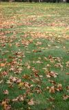 Sycamore Leaves on the Lawn