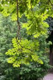 Golden Rain Tree Foliage