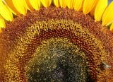 Sunflower - Helianthus