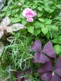 Pink Impatiens, Coleus & Oxalis